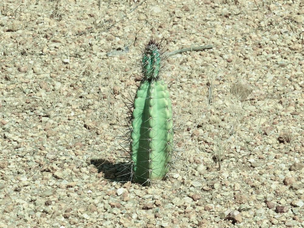 green cactus on brown soil