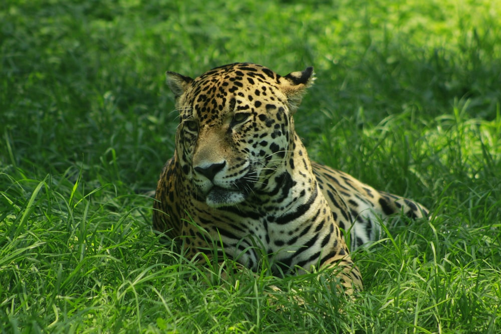 brown and black leopard lying on green grass during daytime