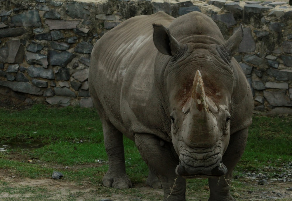 grey rhinoceros on green grass field during daytime
