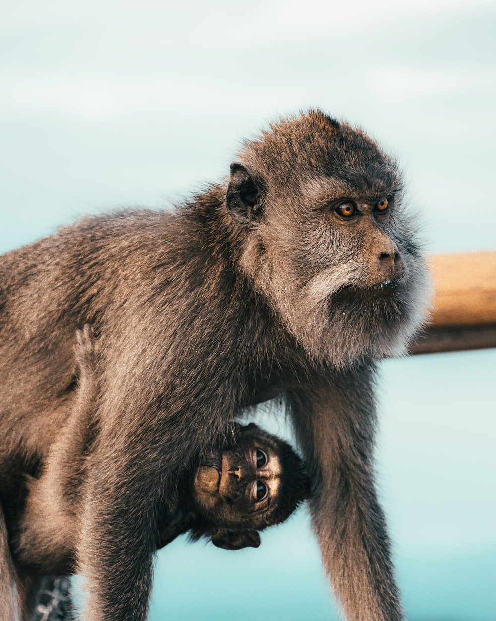 brown monkey sitting on brown wooden fence during daytime