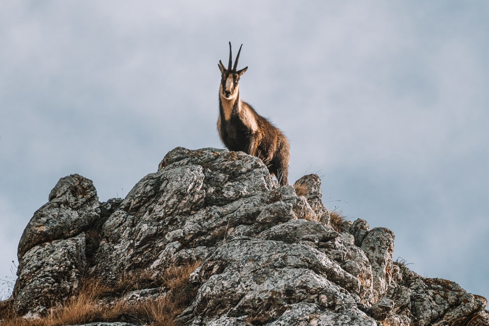 brown and white animal on gray rock