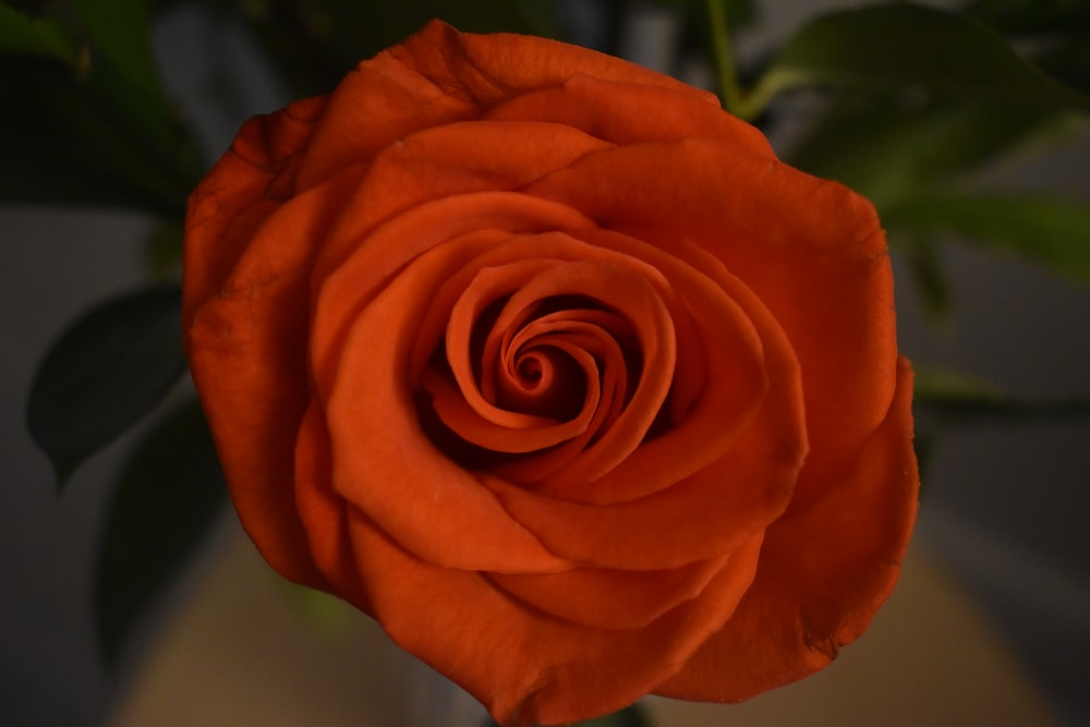 orange rose in bloom during daytime