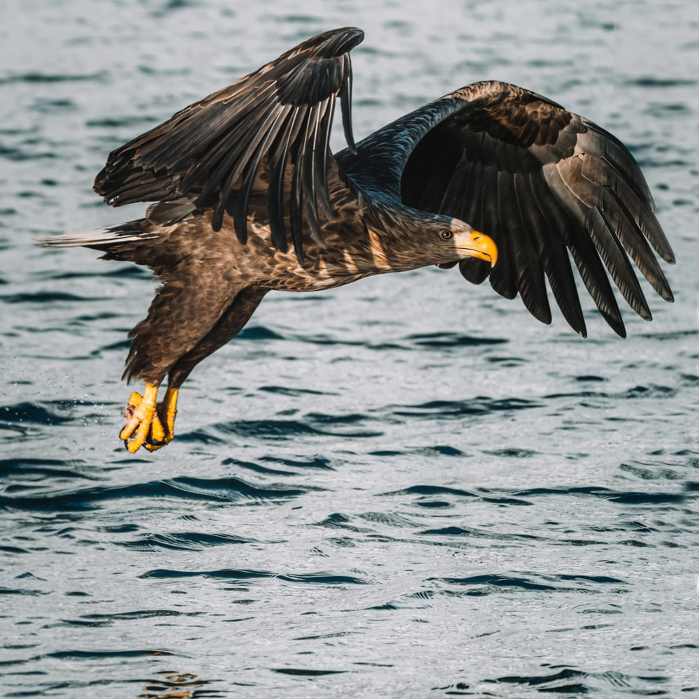 brown eagle flying over the sea during daytime