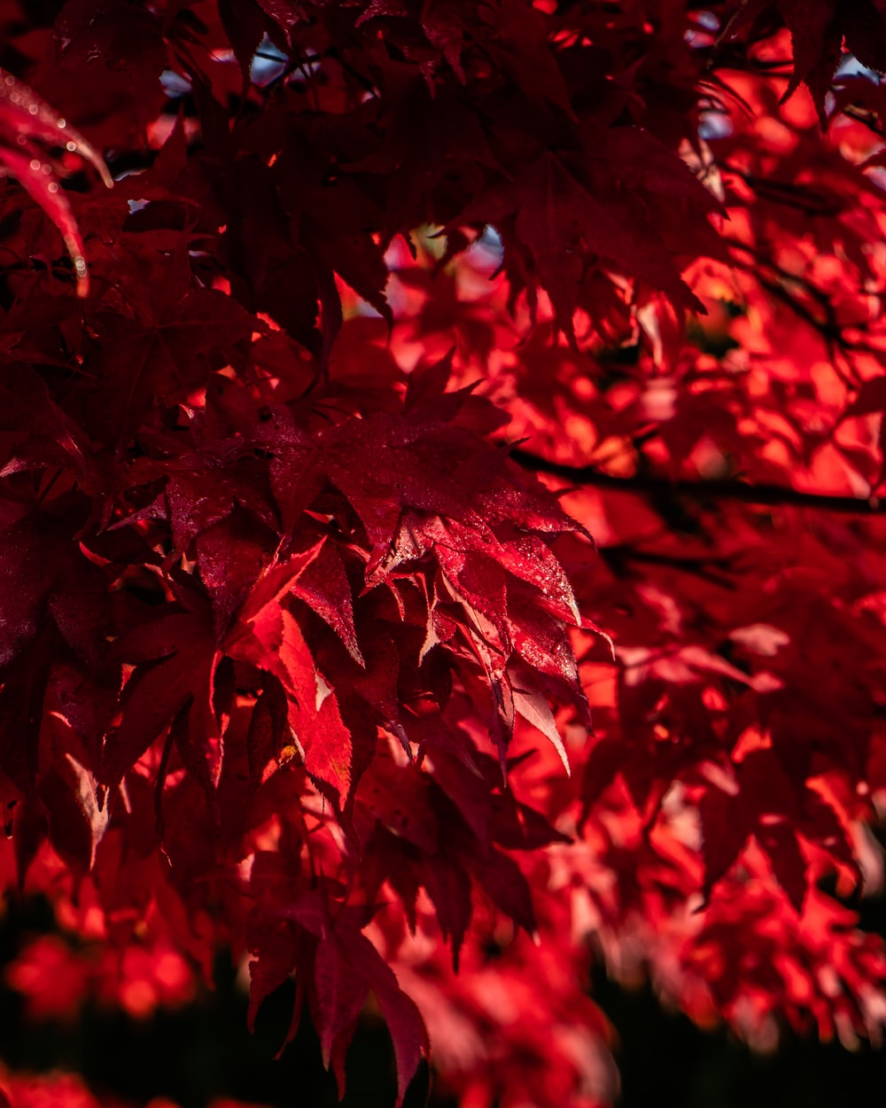red leaves in close up photography