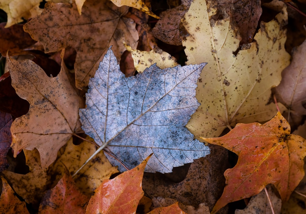 grey and brown maple leaf