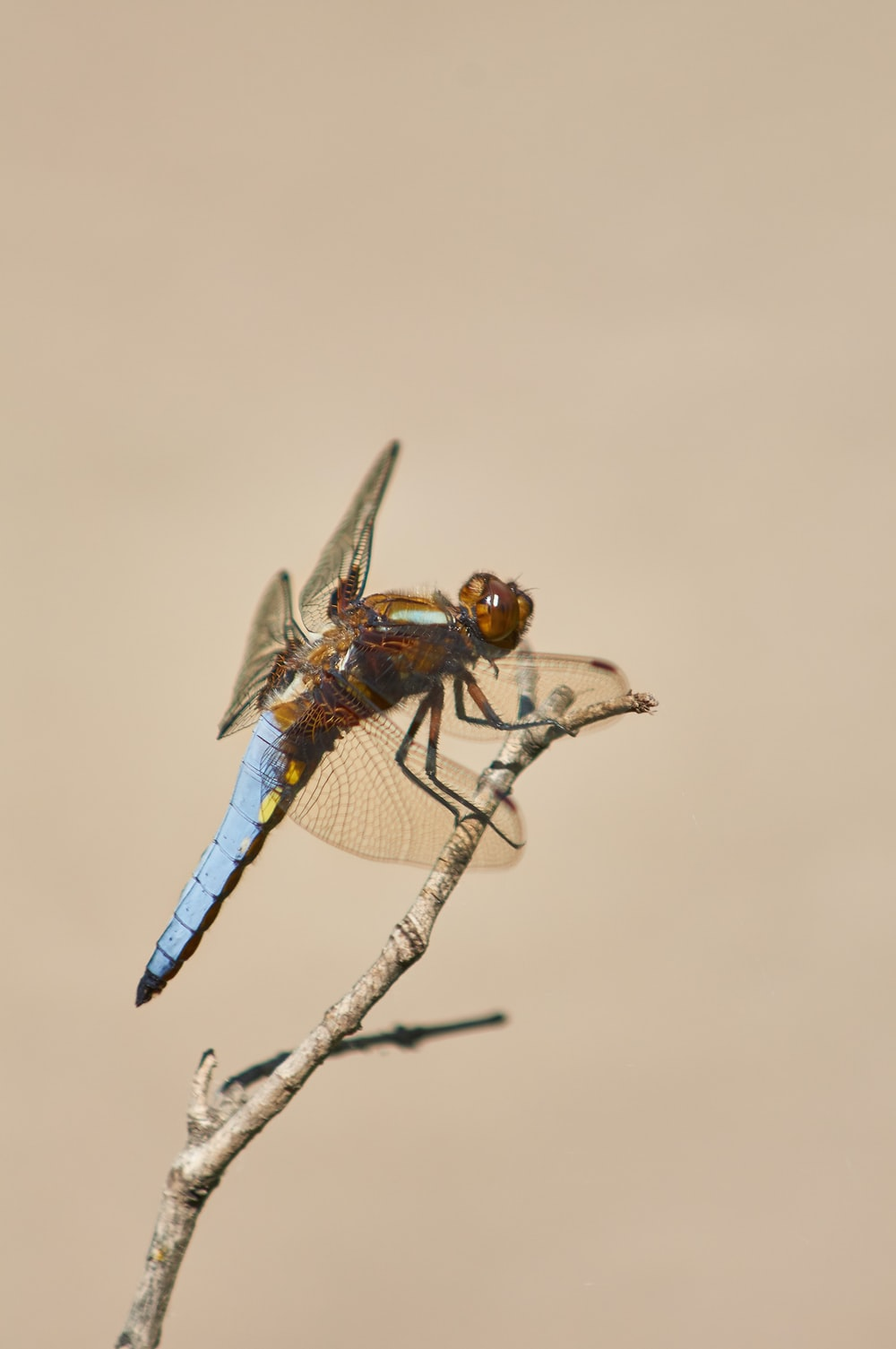 blue and brown dragonfly perched on brown stem in close up photography during daytime