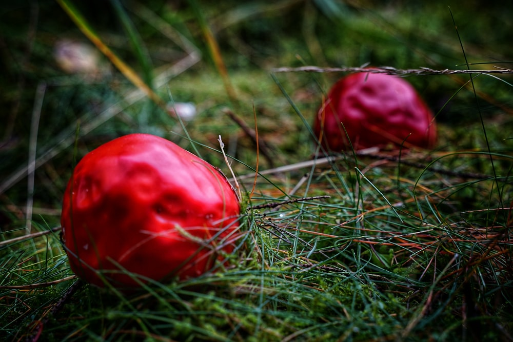 red tomato on green grass