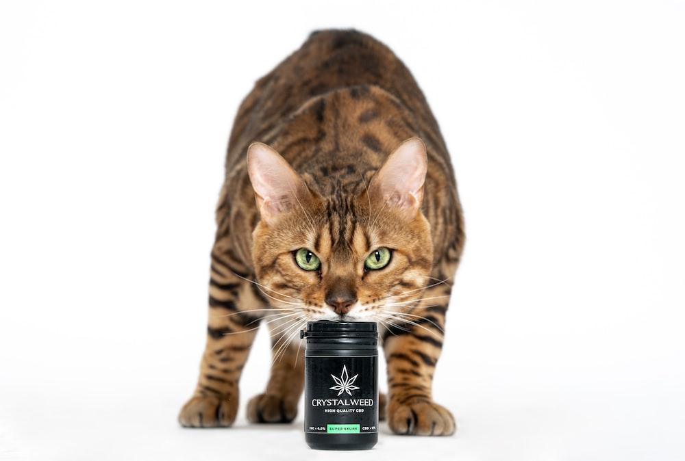 brown tabby cat beside black bottle