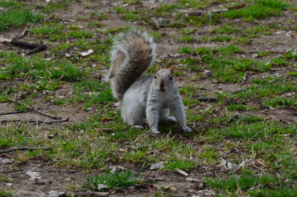white and brown squirrel on green grass during daytime