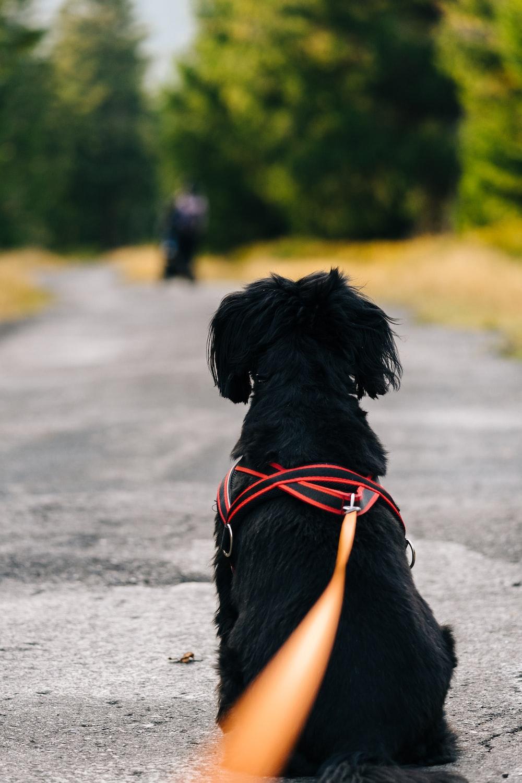 black labrador retriever with red and black leash