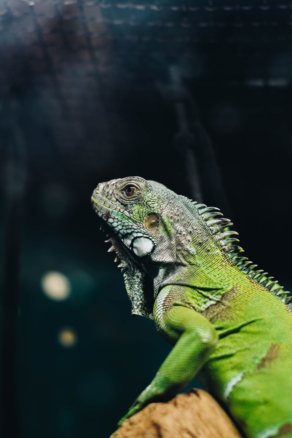 green and white iguana on brown tree branch