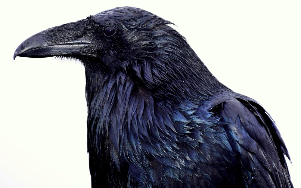 black crow with white background