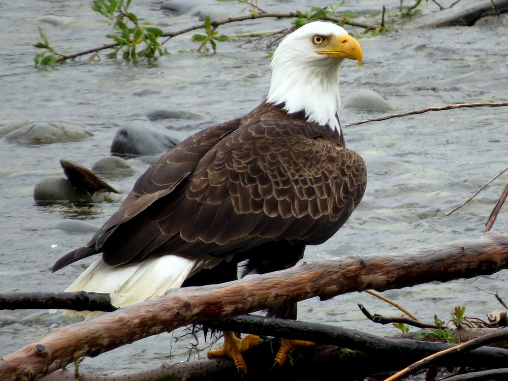 bald eagle on brown tree branch in water during daytime
