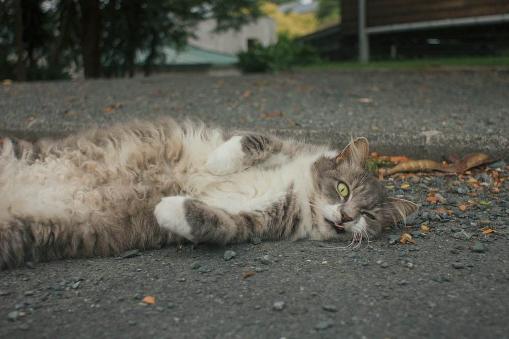 white and grey cat lying on grey concrete floor