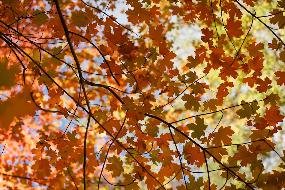 brown maple leaves on tree branch