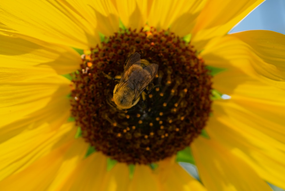 bee on sunflower during daytime