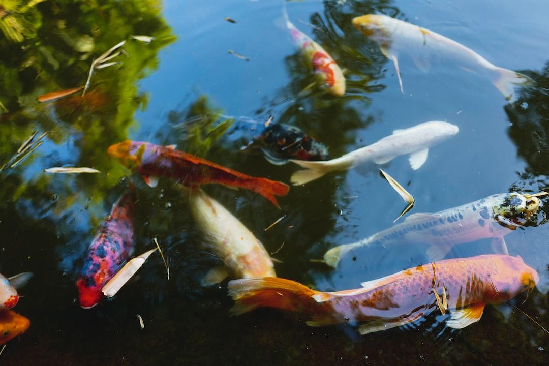 Membuat Kolam Ikan Koi Dengan Cara Mudah