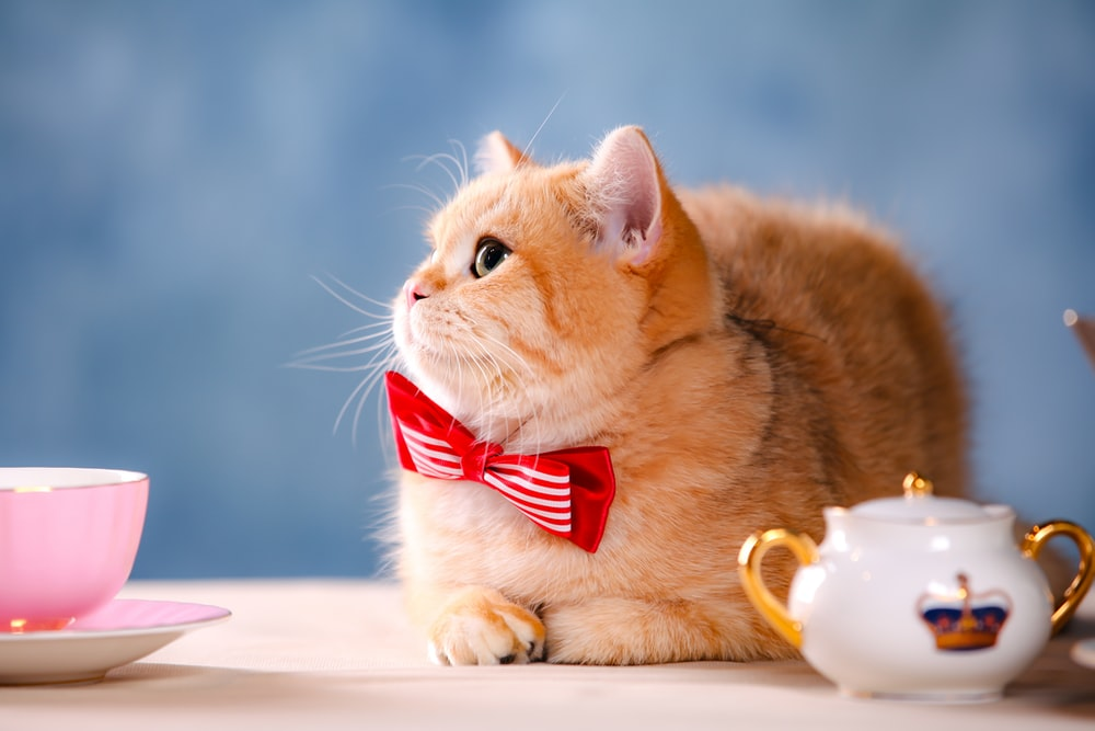 orange tabby cat with red and white bowtie