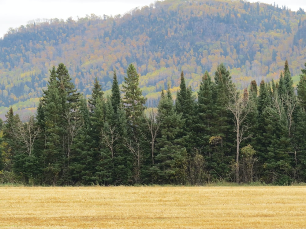 green pine trees on brown field during daytime