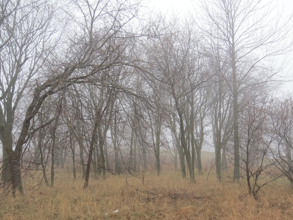 leafless trees on brown grass field
