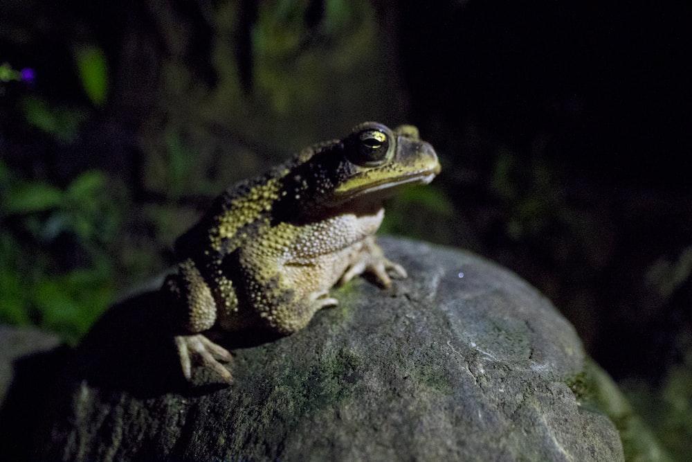 brown frog on gray rock