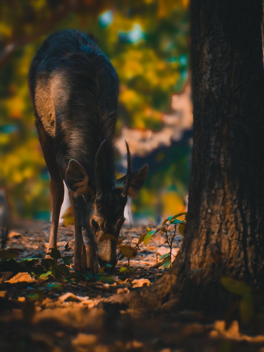 black and brown deer on brown dried leaves