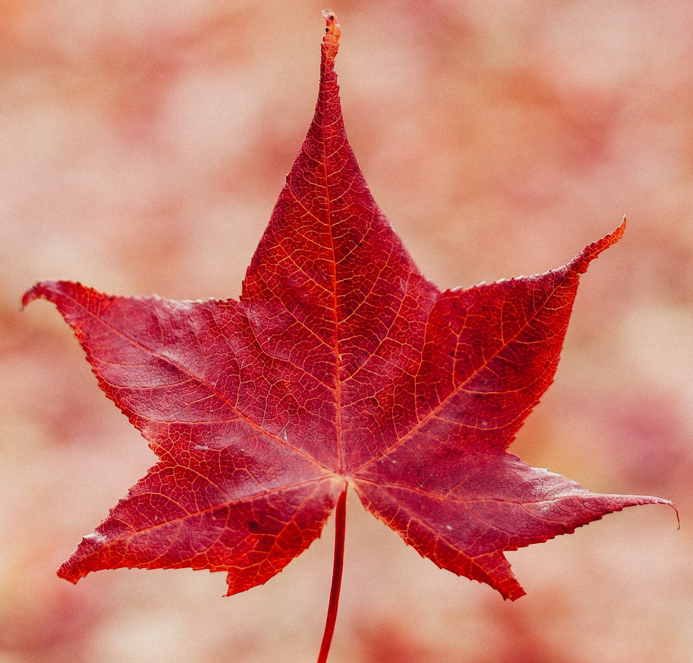 red maple leaf in close up photography