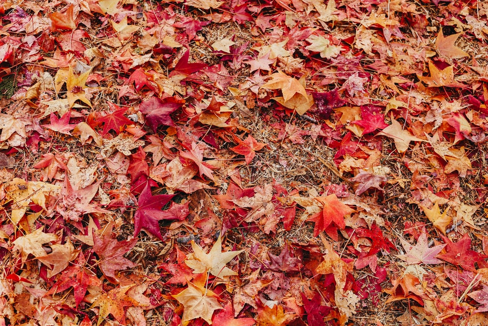brown and red maple leaves on ground