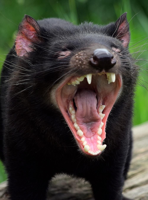 black cat showing tongue during daytime