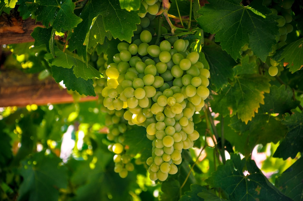 green grapes on green leaves
