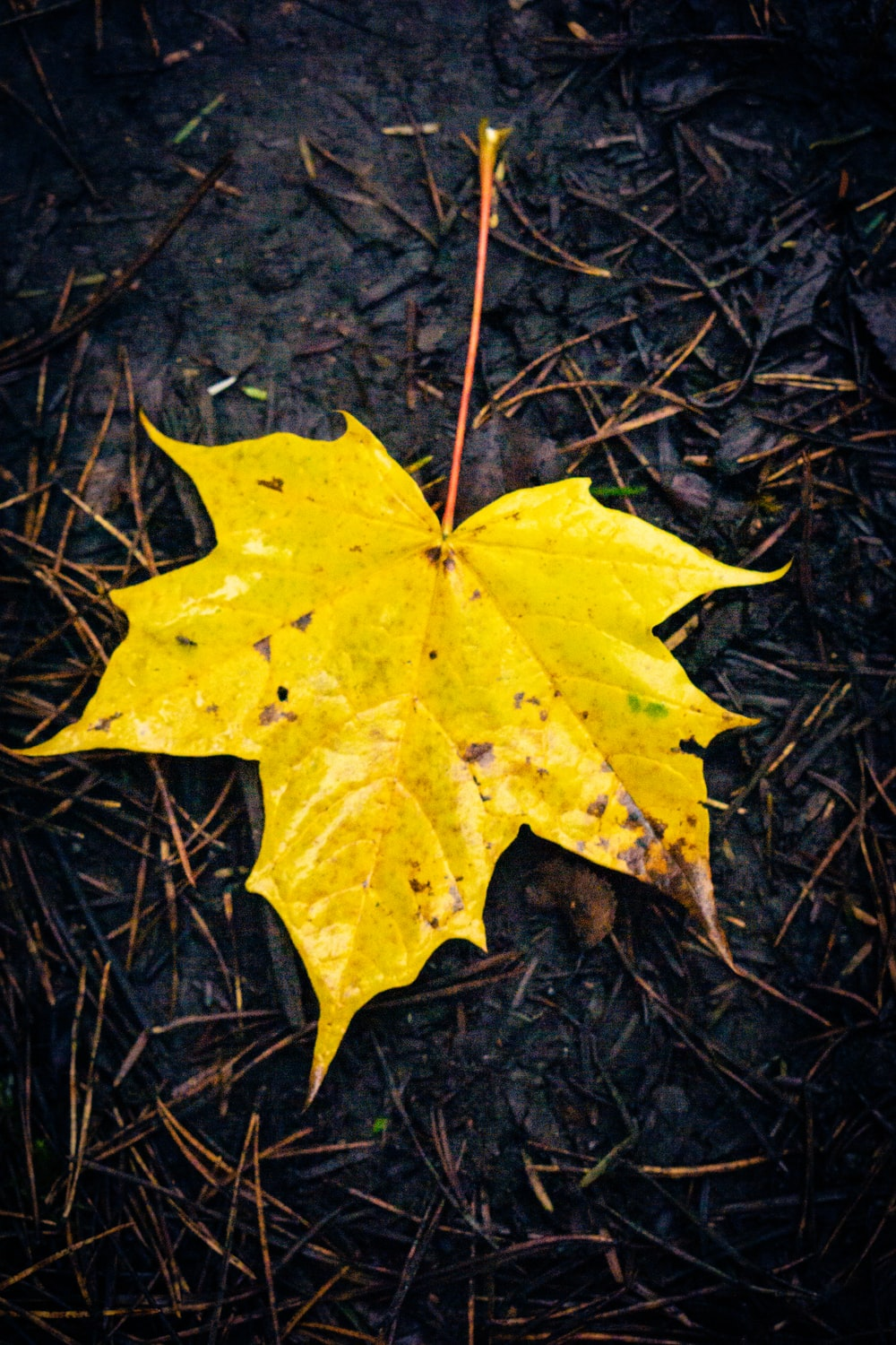 yellow maple leaf on brown dried leaves