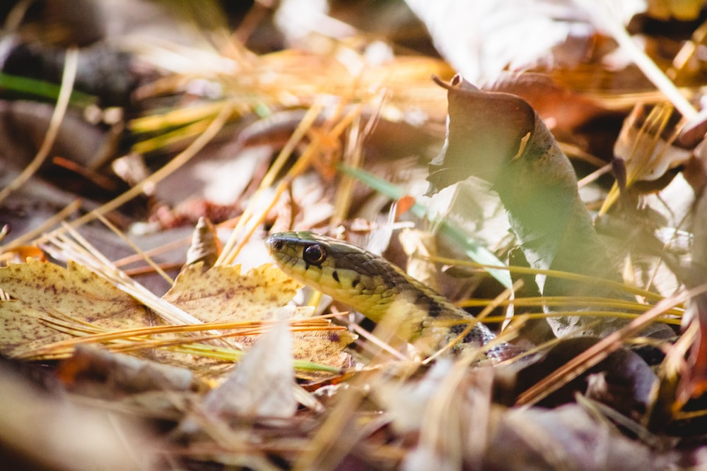 black and yellow snake on brown dried leaves
