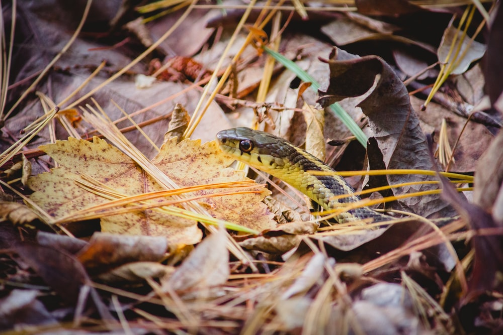 black and yellow snake on dried leaves