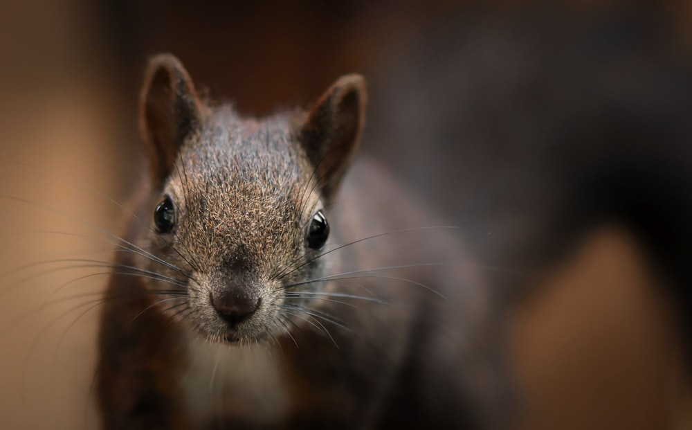 brown and gray rodent in close up photography