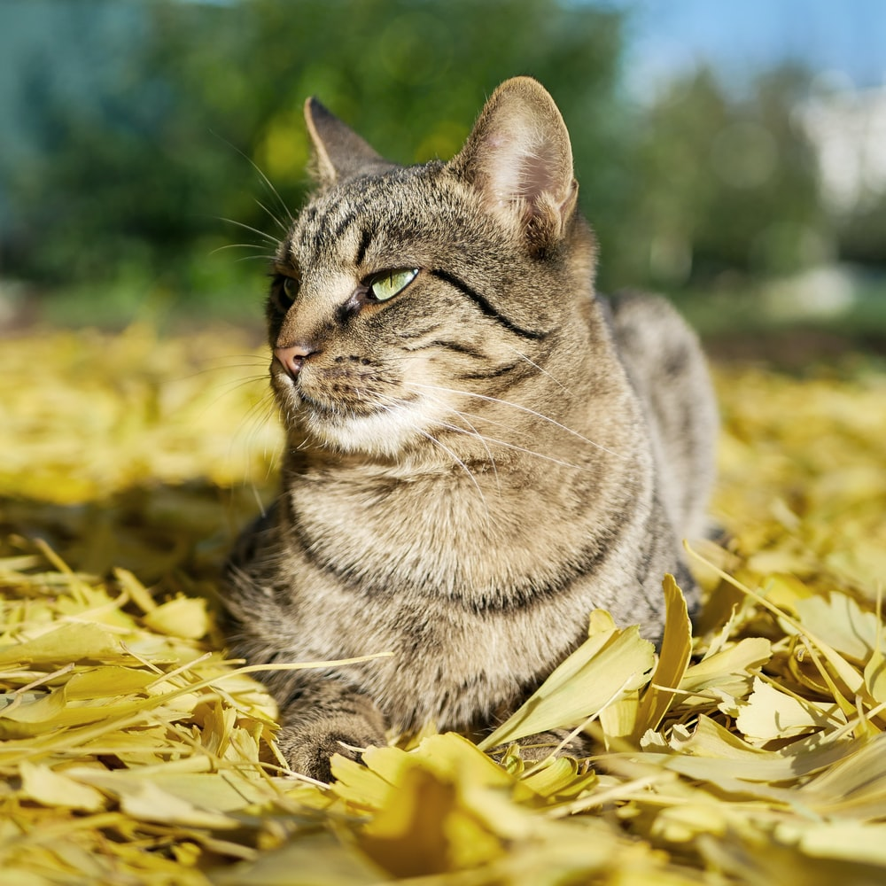 silver tabby cat on yellow leaves