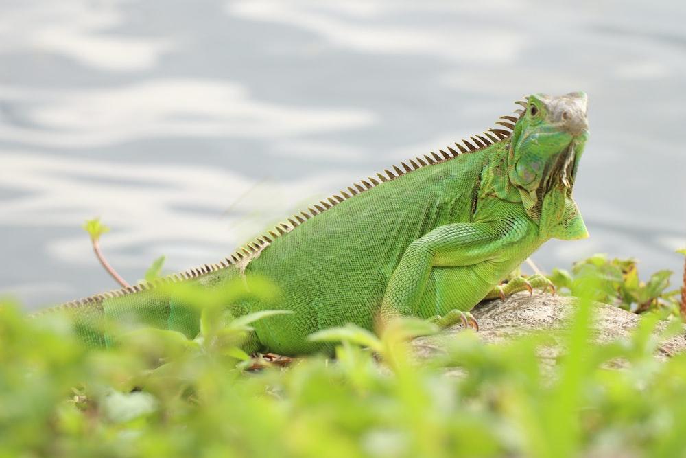 green iguana on brown rock
