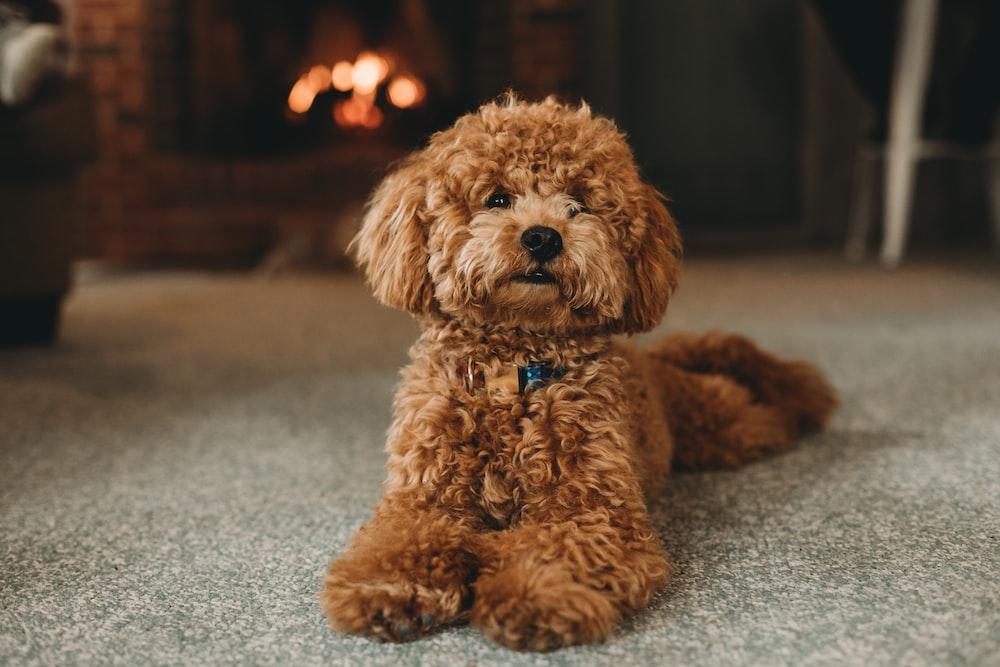 brown poodle puppy on blue carpet
