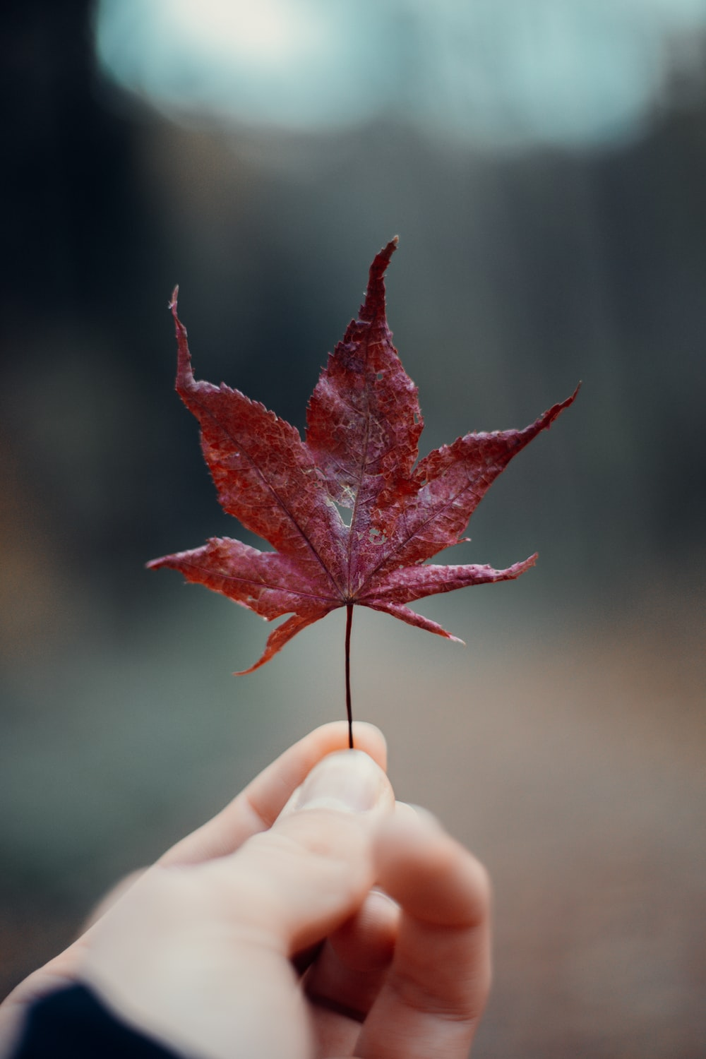 red maple leaf on persons hand