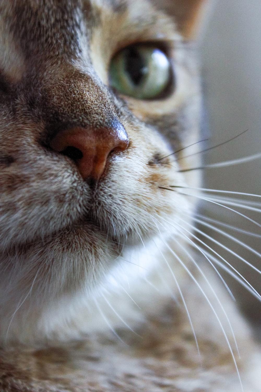 white and grey cat with orange eyes