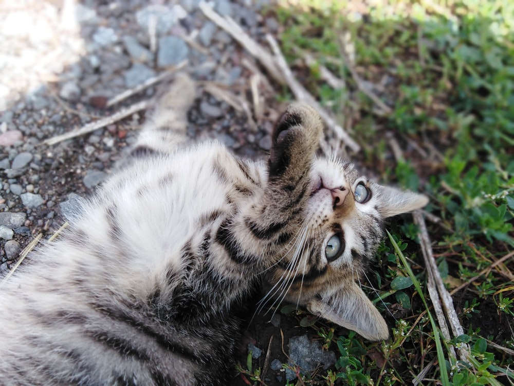 white and black tabby cat lying on ground