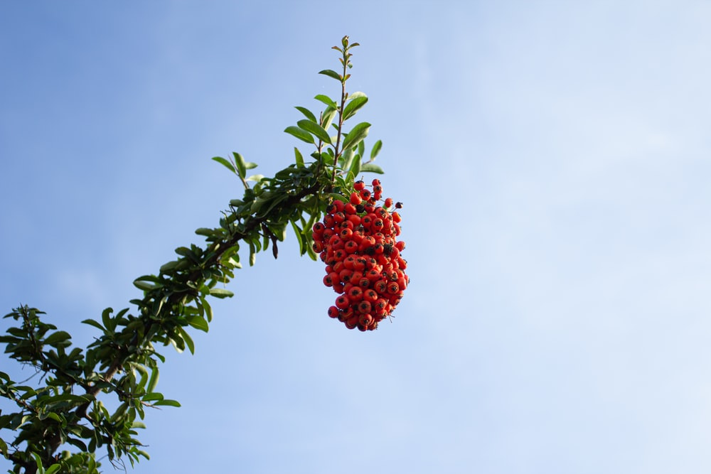 red fruit on green tree