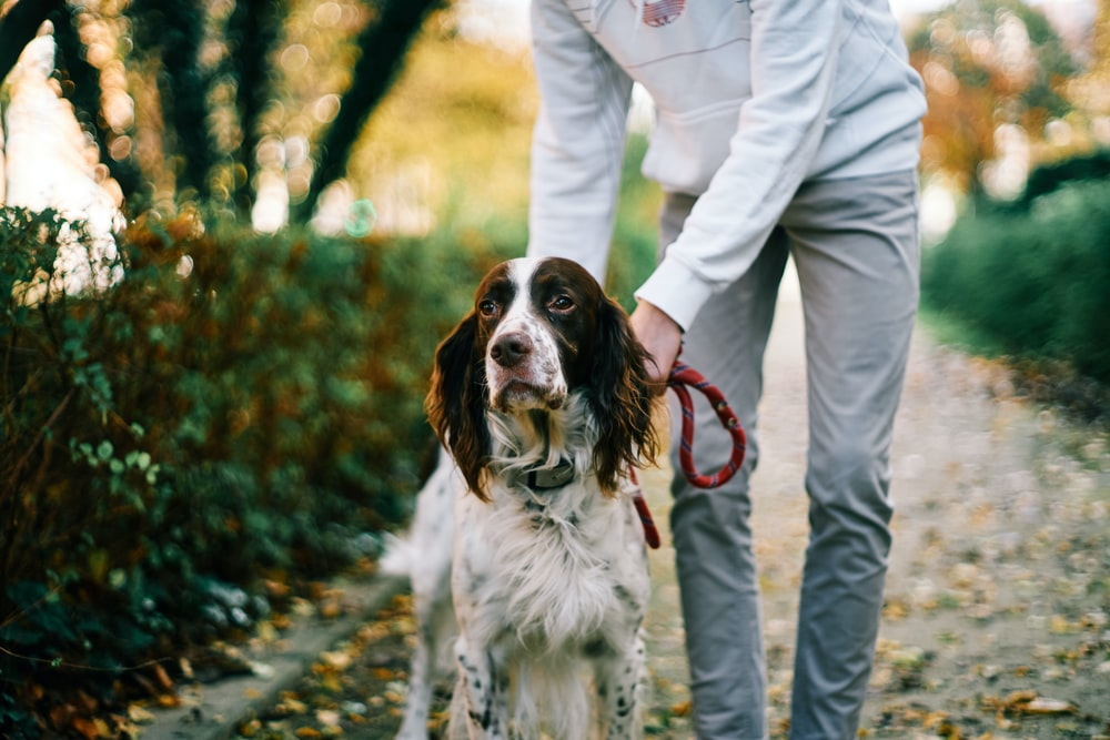 woman in white jacket and white pants holding brown and white short coated dog