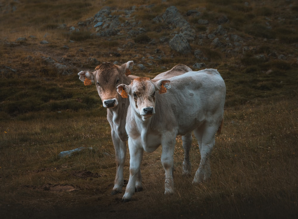 white and brown cow on brown grass field during daytime