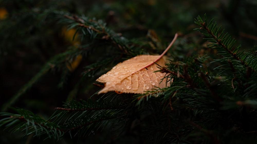 brown leaf on green pine tree