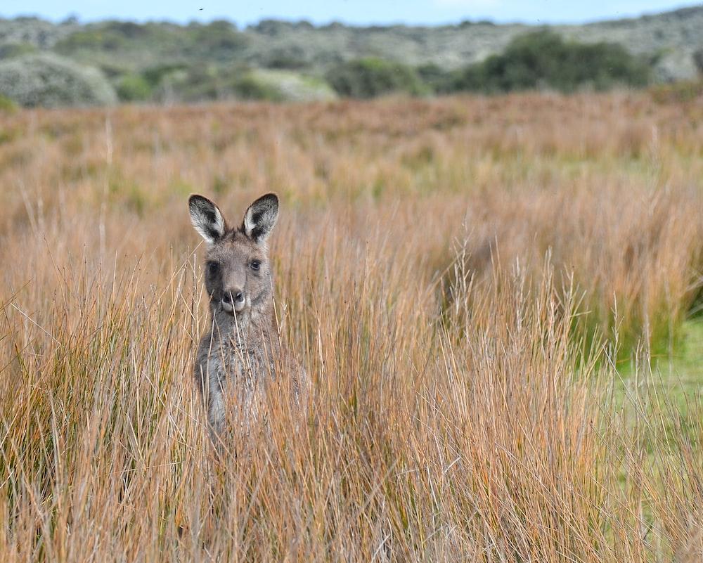 brown and black kangaroo on brown grass field during daytime