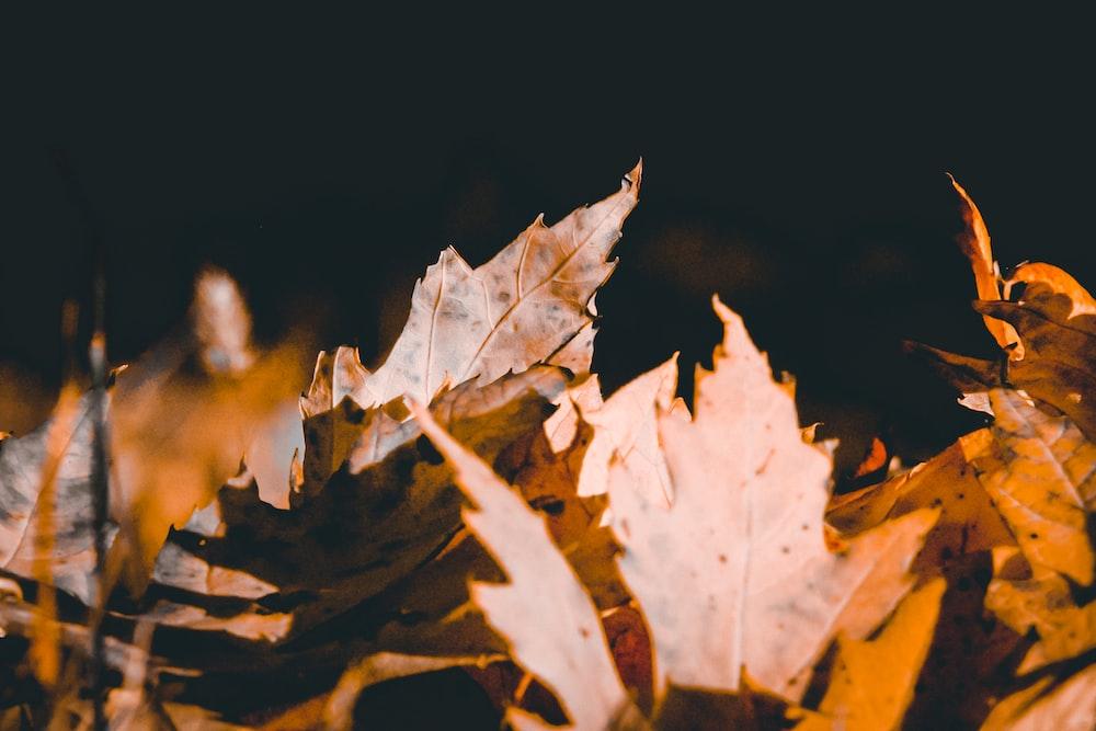 brown maple leaf in black background