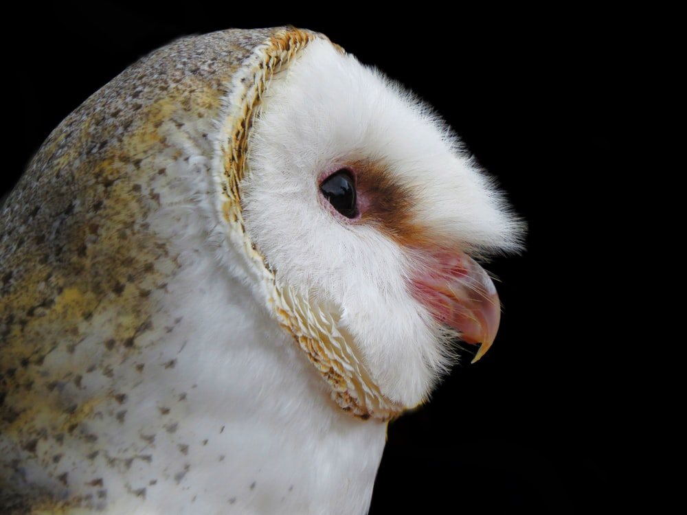 white and brown owl with yellow eyes