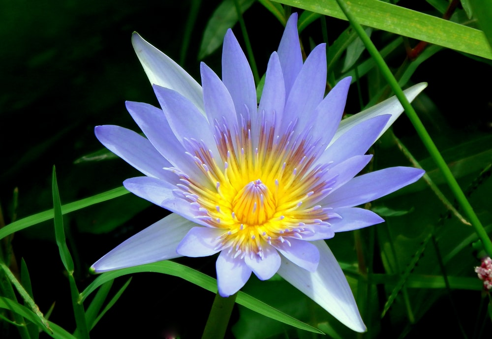 purple and yellow flower in bloom