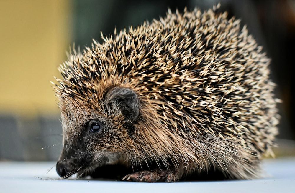 brown hedgehog on brown tree branch