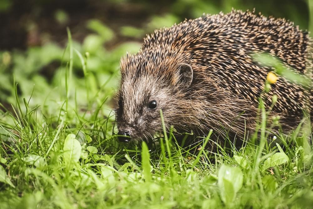 hedgehog on green grass during daytime